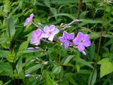 Phlox divaricata