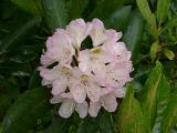Rhododendron maximum