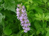 Habenaria fimbriata (Purple Fringed Orchid) MP 360.4 N