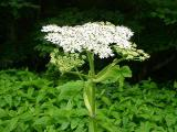 Angelica gigas MP 366.8 S