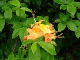 R. calendulaceum MP 367.3