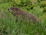 Marmota monax (Groundhog) MP 380.0 N, 2720'