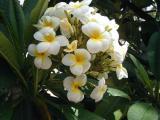 Plumeria 2.jpg