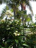 Plumeria  and Royal Palms.jpg