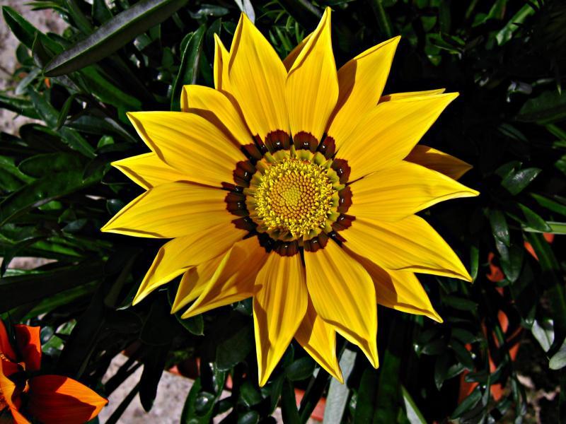 Yellow Cape Daisy
