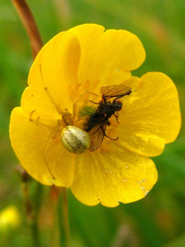 Spider in Buttercup