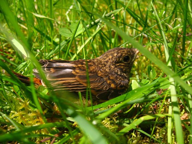 Redstart Fledgling