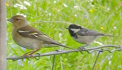 Coal tit and chaffinch
