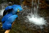 Blue Macaws 9