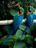 Blue and Gold Macaws 7