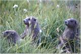Marmot Babies 23