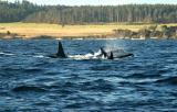 Orca Pod Near Shore
