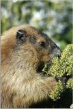 Marmot 48