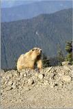Marmot 15