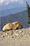Marmot 17