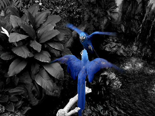 Blue Macaws 2