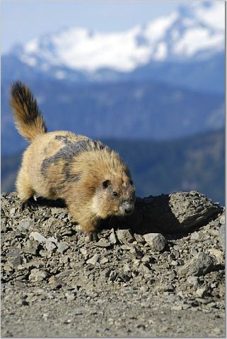 Where to Photograph Olympic Marmots