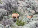 Elk cow and calf - south of North Entrance