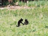 Bear cubs - near Calcite Springs Overlook