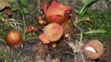 Calostoma cinnabarina
