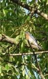 DSC03014 my first bluebird.jpg
