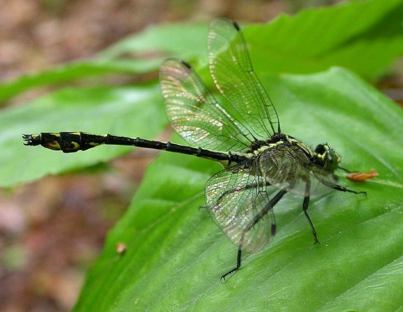 Black-shouldered Spinyleg -- <i>Dromogomphus spinosus</i>