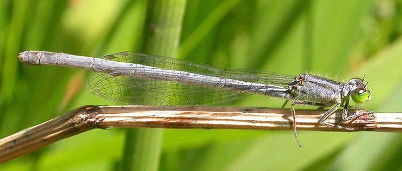 Eastern Forktail -- female
