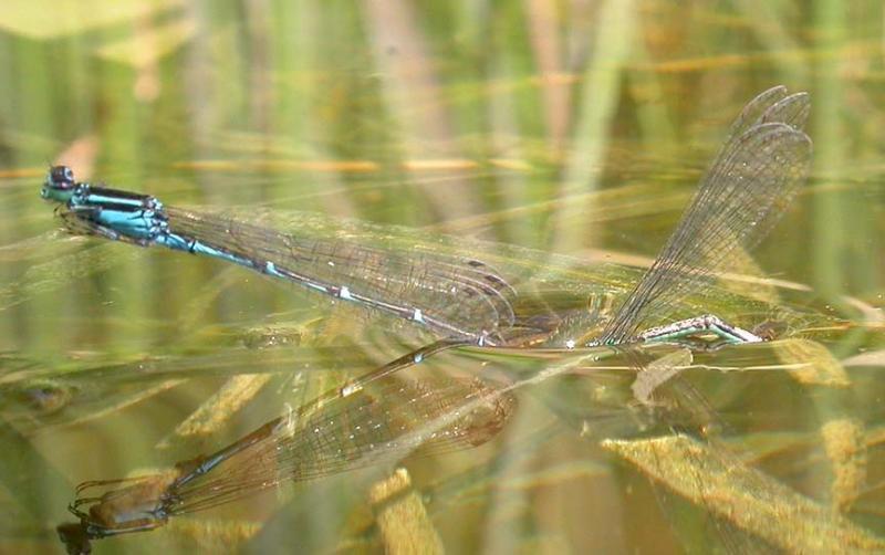 Stream Bluets -- pair mating