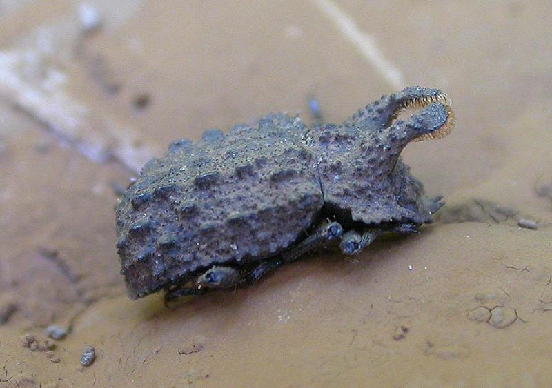 Horned Fungus Beetle -- </i>Bolitotherus sp.</i> -- 1