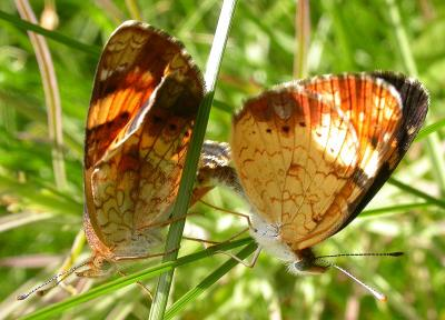 Northern Pearl Crescents -- mating