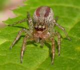 Maevia inclemens - Dimorphic jumper -female