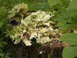 Laetiporus huronensis (old)