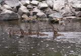 Duck with ducklings at Jock River landing