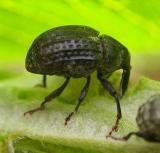 Rhyssomatus lineaticollis -- milkweed weevil