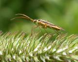 Stenotus binotatus -- on Timothy grass seedhead - view 2