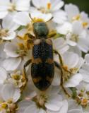 Trichodes sp.  -- Checkered Beetle -- view 2