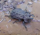 Horned Fungus Beetle -- Bolitotherus sp. -- 2