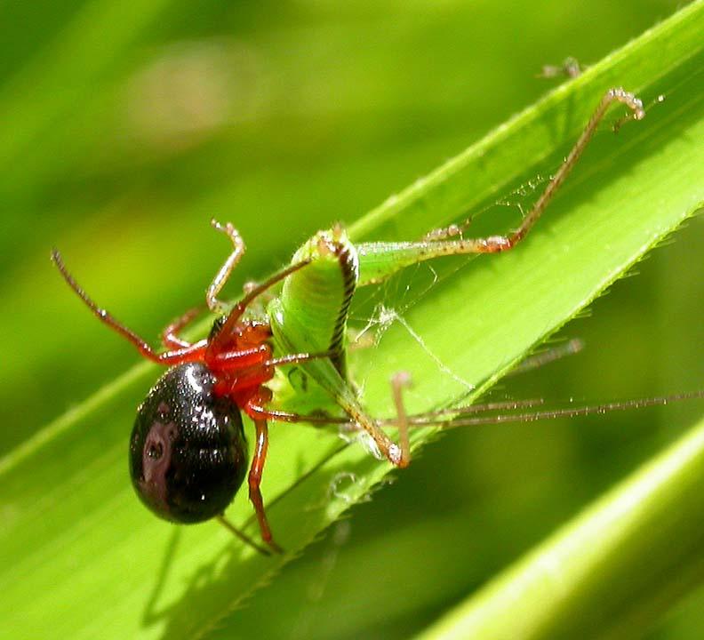 perhaps <i>Hypselistes florens ?</i> -- Splendid Dwarf Spider?