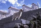 Drepung Lamb