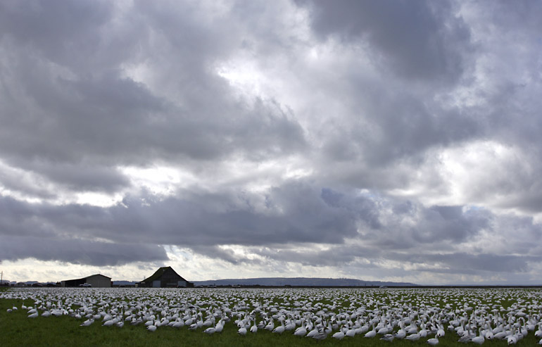Snow Geese and Clouds (*)