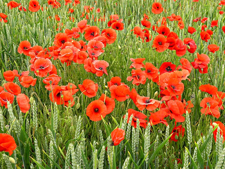 Poppies in Corn