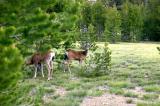 Yosemite deer 1