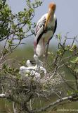 Painted-Stork-nest.jpg
