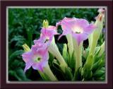 Tobacco Blossoms