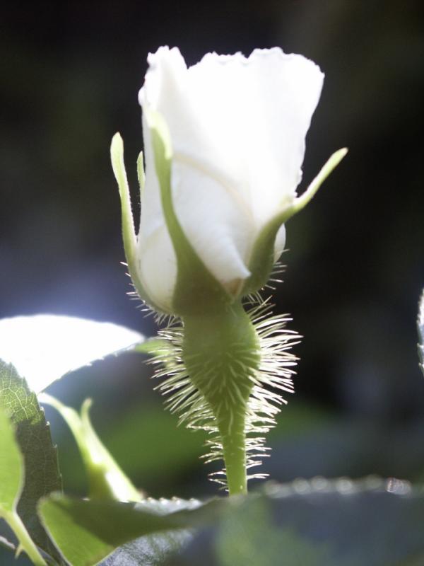 Cherokee Rose Bud 5.jpg