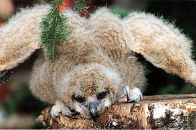 Chick of Siberian owl