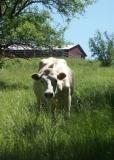 Got Cows?