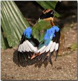 Blue-winged Pitta - getting some sun
