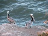 Pelicans at Pismo Beach, California