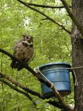Banding the Baby Great Horned Owl